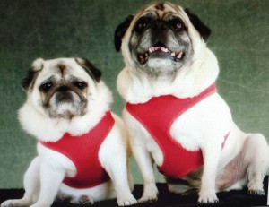 Pug and Shelby Before